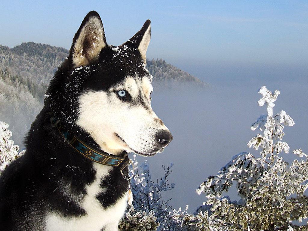 Wallpapers siberian husky - Pictures of siberian huskies ...