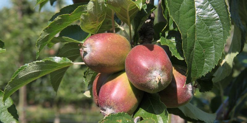 Selvpluk af æbler