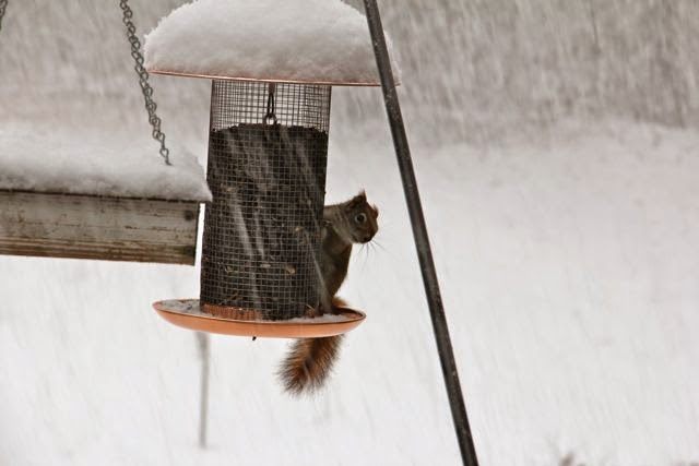 bird feeder and red squirrel in early March snow storm