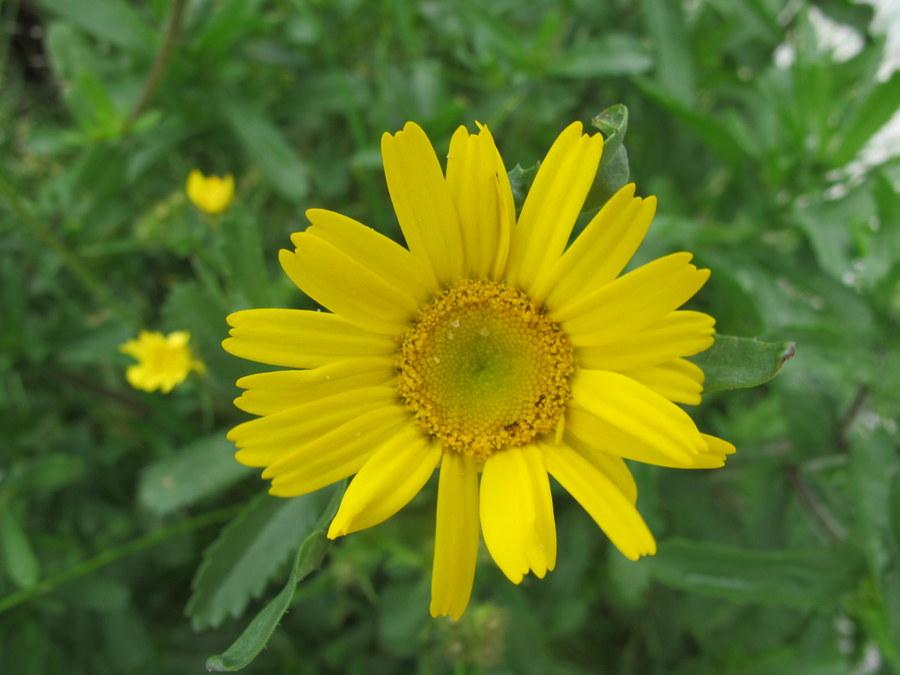 flora nel salento e anche altrove coleostephus myconis
