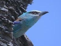carraca que asoma en su nido en un árbol