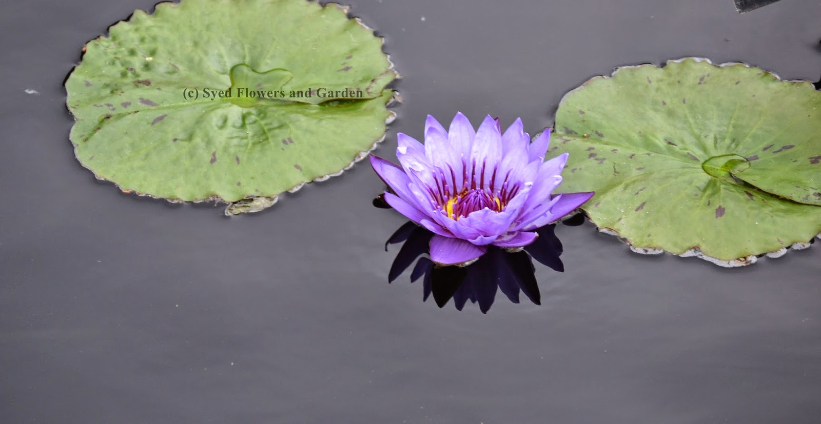 How to grow water lilies or aquatic plants nymphaeaceae flower water lilies and water lotus are two different plants lots of mine friends confused with each other asking me what is different between those plants izmirmasajfo