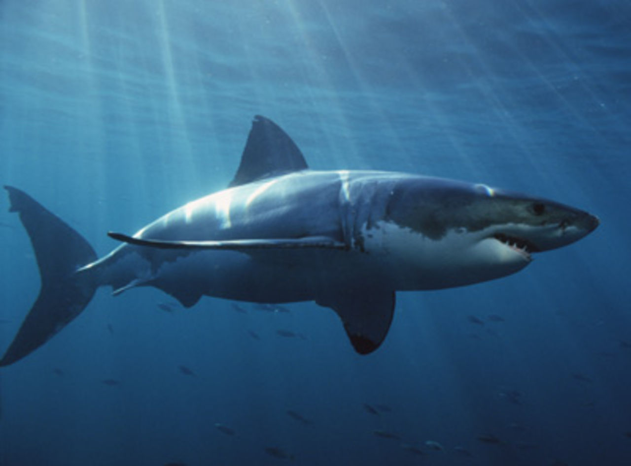 images of great white sharks - photo #27