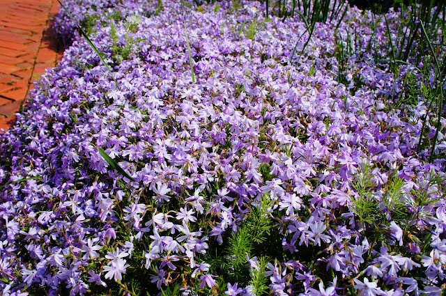 violet flowers picture