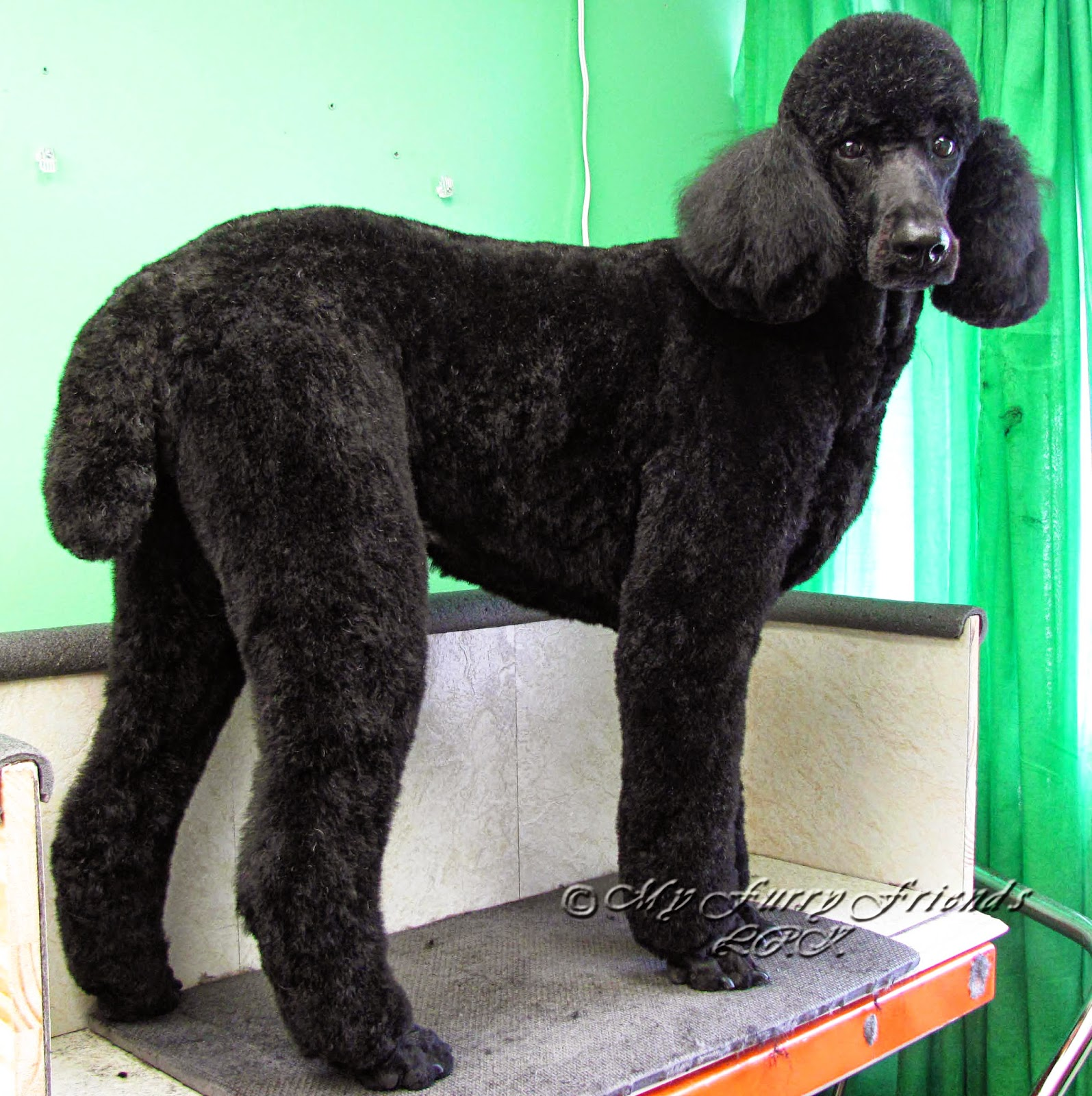 Standard poodle haircuts or of unless soft haircuts standard poodle - Pet Grooming The Good The Bad The Furry Tails Tails And More Tails