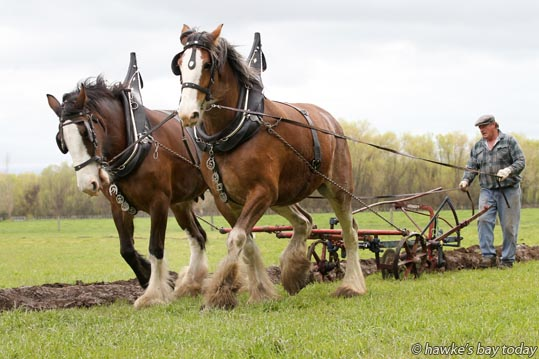 Steve Muggeridge, Frasertown, competing with his Clydesdales in the Takapau Ploughing Match at Majella, a property in Speedy Rd, Takapau, Central Hawke's Bay. photograph
