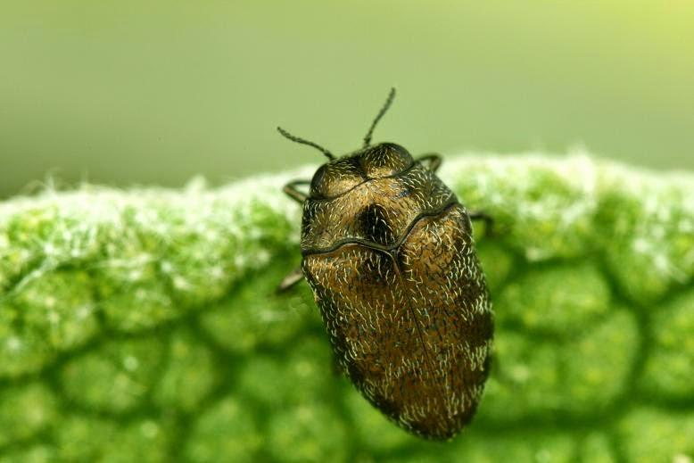 Trachys pumilus