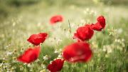 Amapolas y Margaritas Imagenes de Flores en HD. Flores de Azafranes Violetas amapolas margaritas imagenes de flores en hd