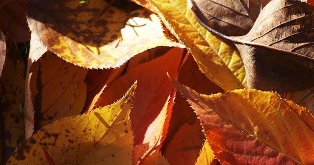 Høstfarver på blade fra japansk kirsebærtræ