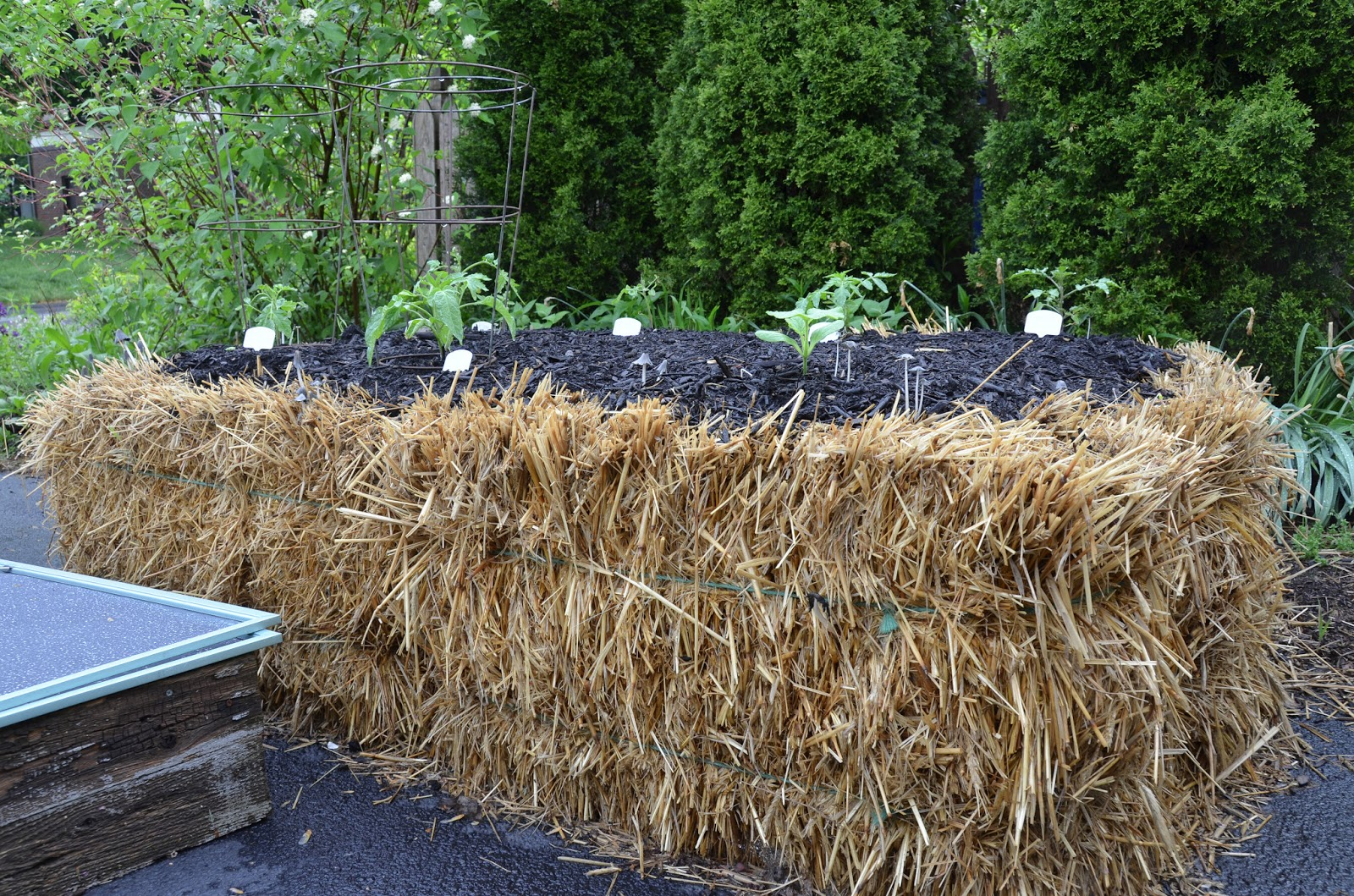 Eating From My Backyard: This year\'s experiment - straw bale gardening.