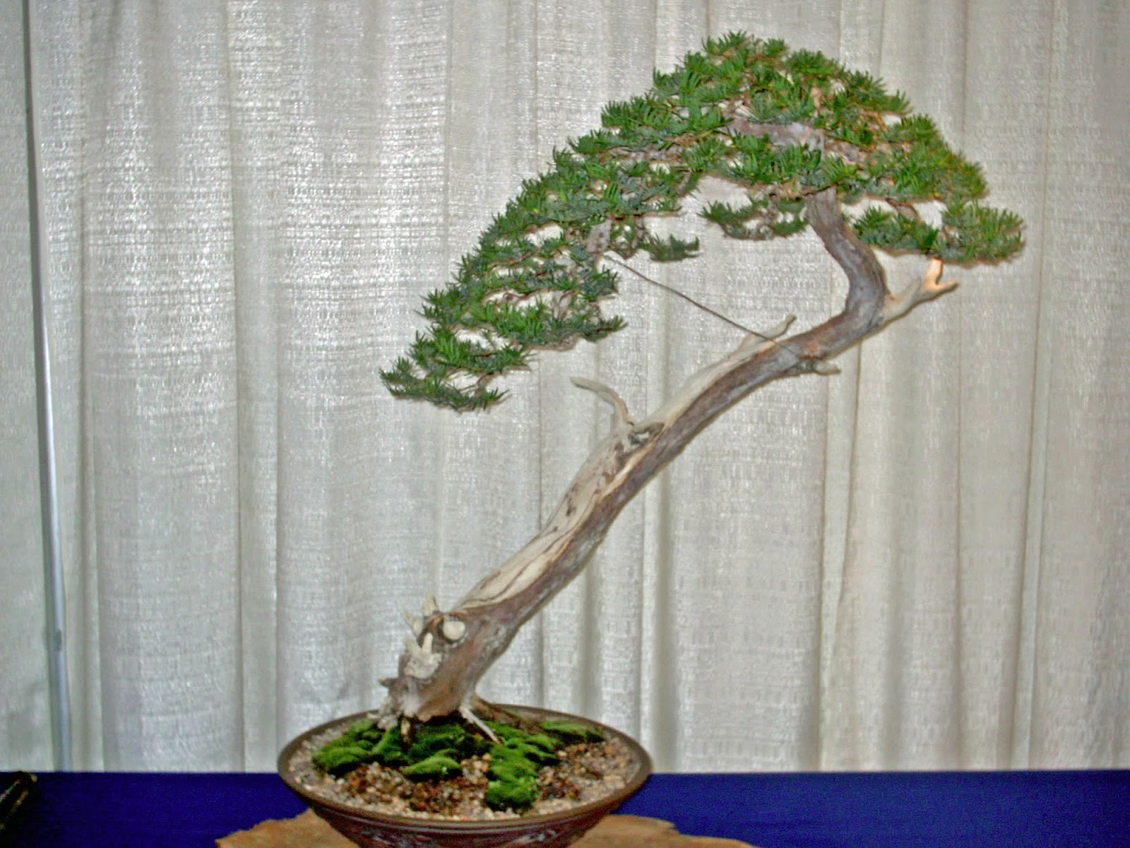 Yew Bonsai Tree Best 2018 Wiring In Hoosierland The For Everyone