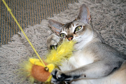 Cat playing with feather toy