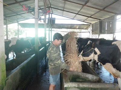 Anh Trương Vĩnh Hảo (ấp 3, xã Tân Thạnh Đông) cho đàn bò sữa ăn. Ảnh: T.Đ