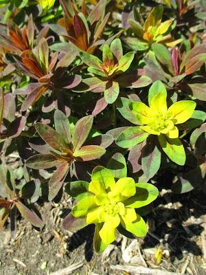Rotary Botanical Garde... Euphorbia Amygdaloides Ruby Glow