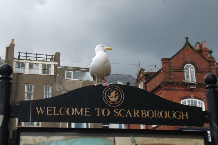 Scarborough Seagull