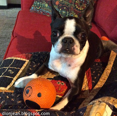 Boston terrier loves her dog toy