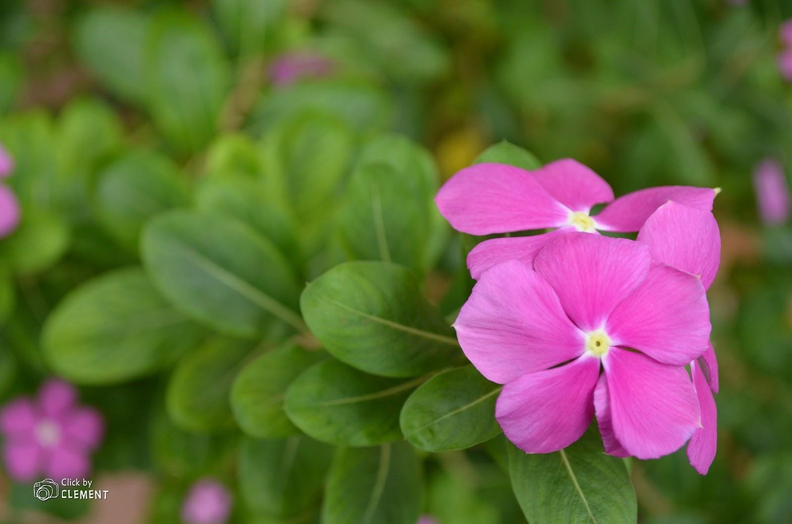 My s Vinca Rosea Flower