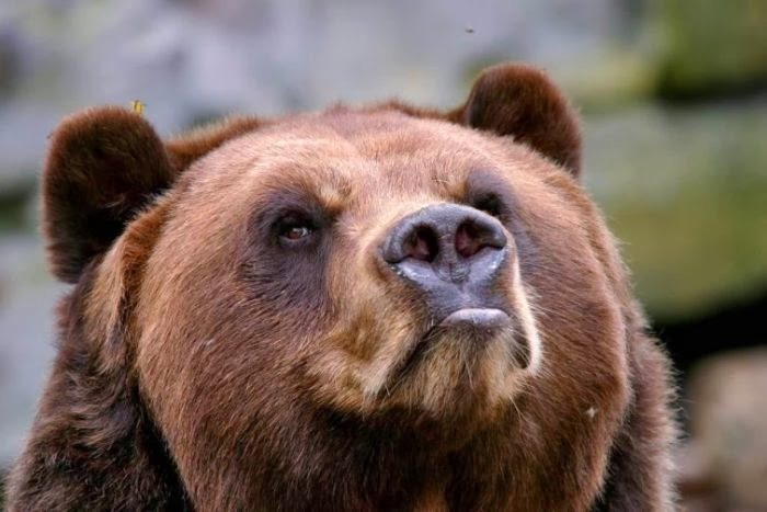 Bear meets a bee (4 pics), bear vs bee, funny bear picture