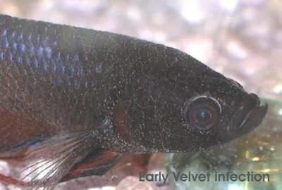 November 2012 betta fish for Betta fish diseases