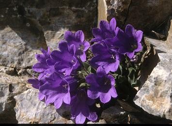 Campanula oreandum Ενδημικό Φυτό του Ολύμπου