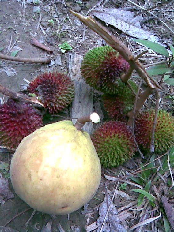 Buah-buahan Kebun ku