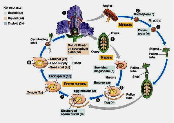 Metagenesis Tumbuhan Paku Lumut Berbiji Dan Hewan Ubur Ubur
