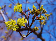 Budding spring tree