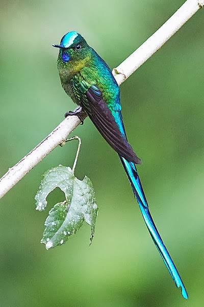 My Temple of Nature: Humdinger Hummingbirds II