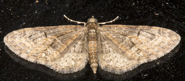 Brindled Pug, Eupithecia abbreviata.  Geometridae.  On top of my garden actinic light trap in Hayes on 16 April 2013.