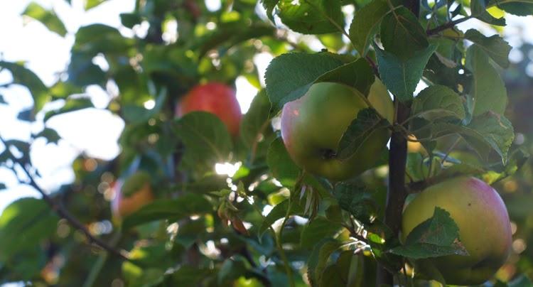 Et godt valg af æbletræ til villahaven. Smukt og rigtbærende træ