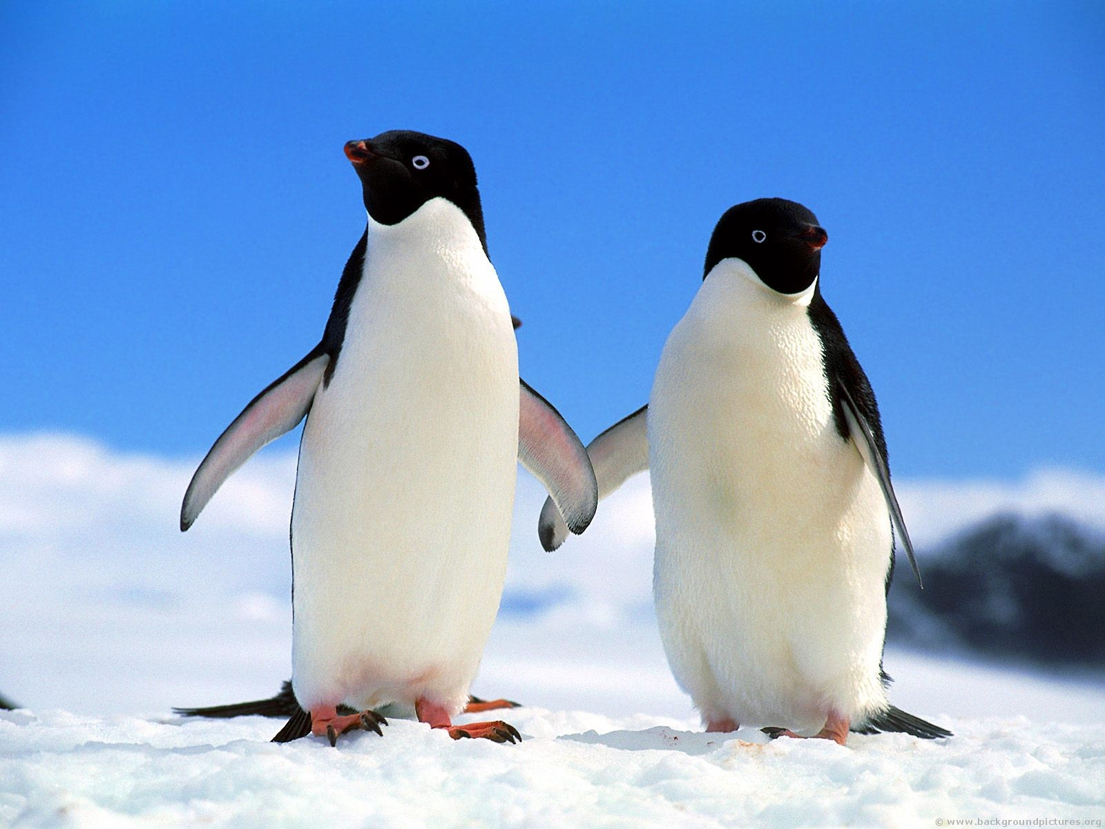 of animals adelie penguins there are 38 colonies of adelie penguins ...