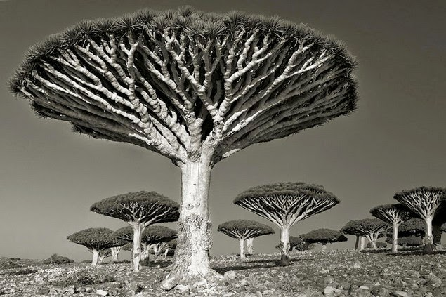 beth moon oldest living trees-10.
