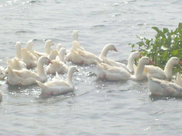 Geese from Ghana's Riverland II