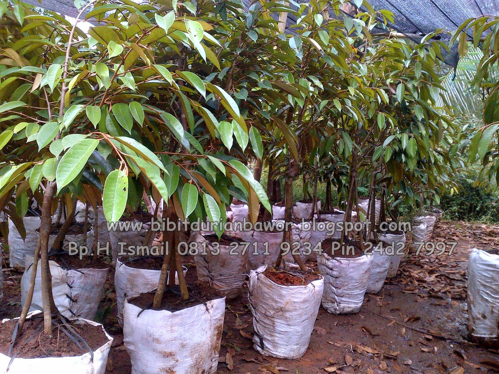 Jual Bibit Durian Bawor Banyumas Bibit Durian Bawor