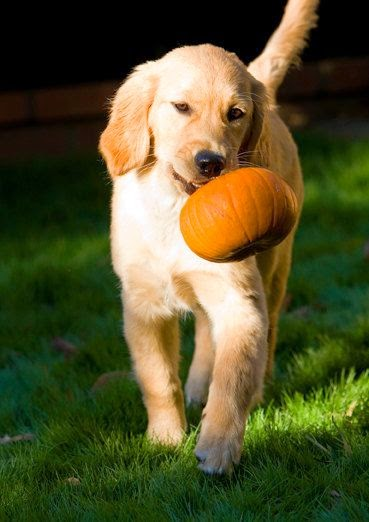Golden Retriever Puppy with Pumpkin