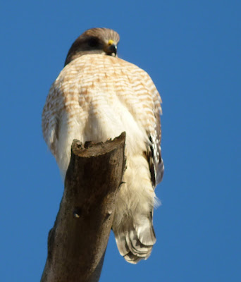 red-shouldered hawk front