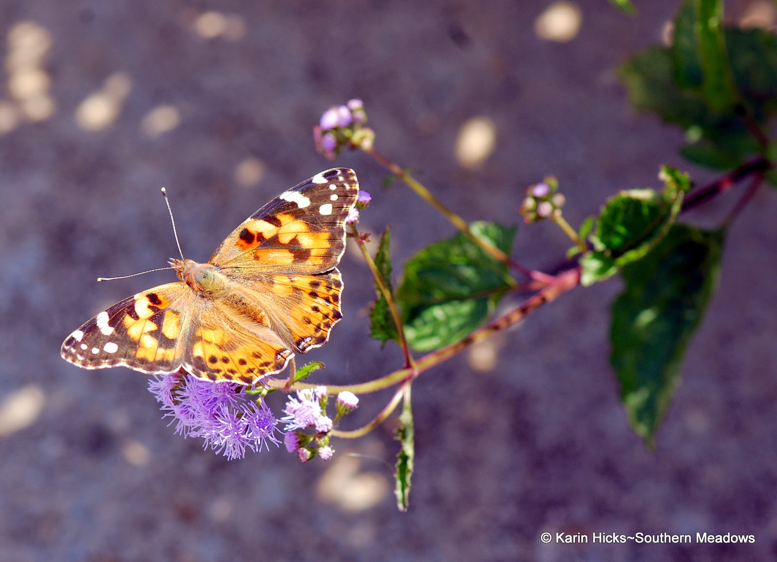 American Painted Lady (Vanessa virginiensis)