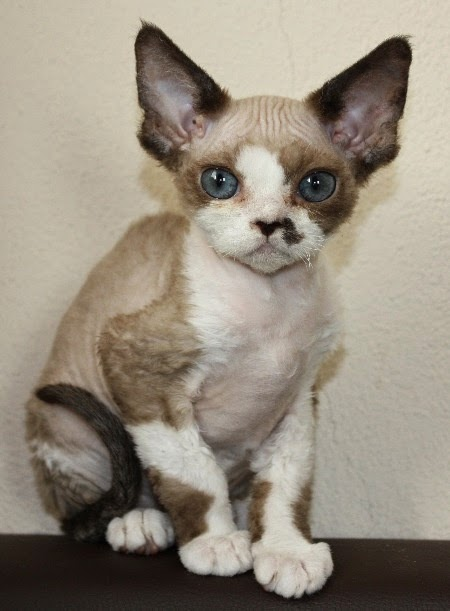 Top 5 Smallest Cat Breeds