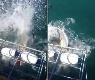 Tubarão branco arrebenta grade de proteção e ameaça mergulhadores