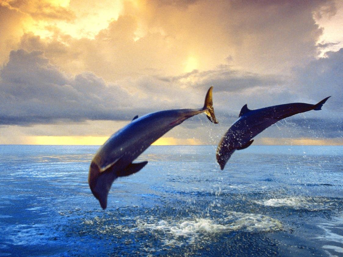 bottlenose dolphin wallpaper dolphins - photo #35