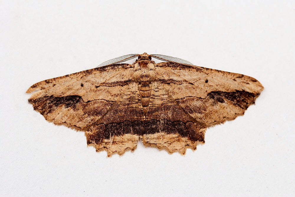 Waved Umber - Milton Keynes