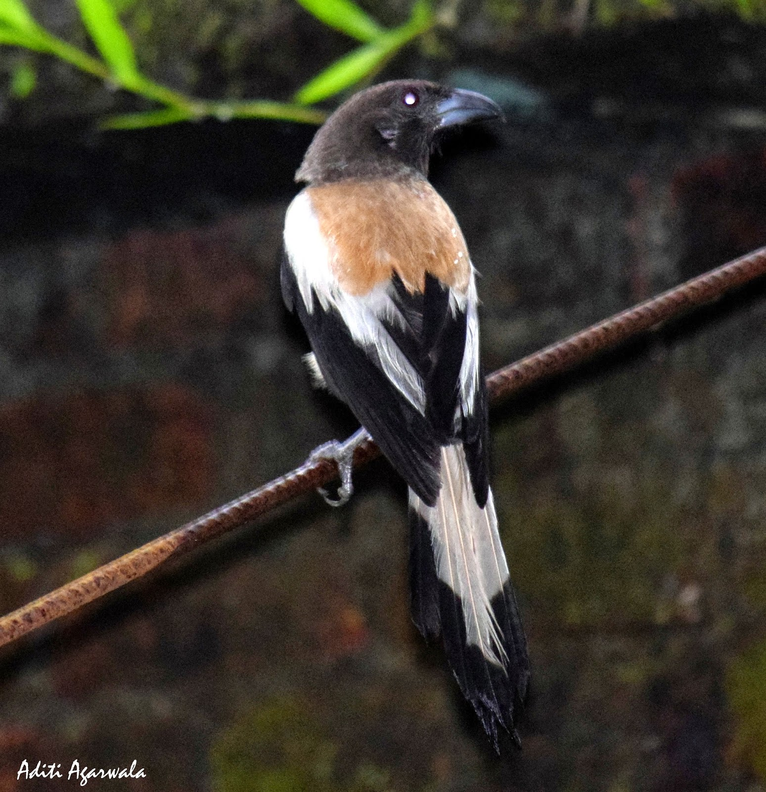 A Rufuos Treepie perched on a tree in the backwaters of Kerala