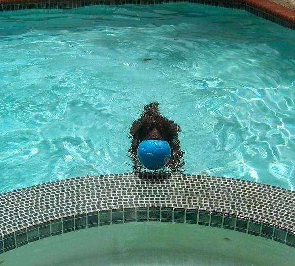 We take our dog swimming why does he keep getting ear infections kingsbrook animal hospital for What causes ear infections from swimming pools