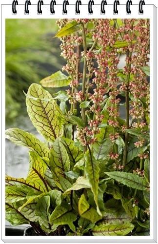 Acuarios leuka plantas para estanque rumex sauvignea for Plantas para estanques