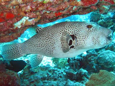 The animal wildlife giant puffer fish for Blowfish vs puffer fish