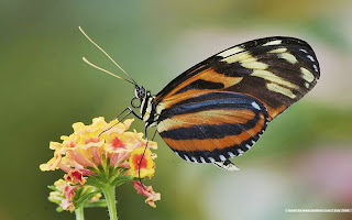 Colorful-butterfly-Wallpaper