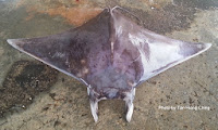 Shortfin Devil Ray,   Lesser Devilray