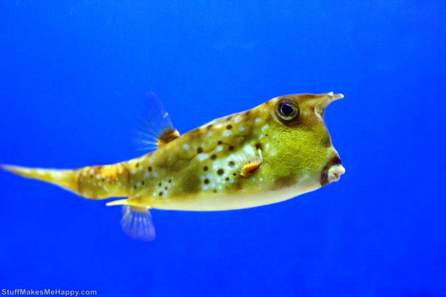 Longhorn cowfish, Photo by Russ