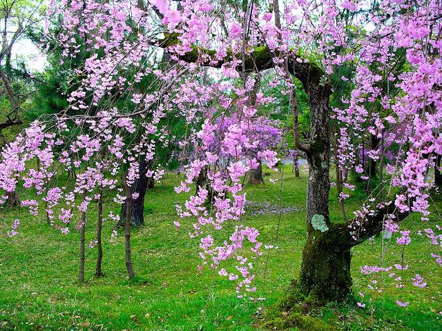 Ảnh đẹp hoa đào rộn ràng ngày tết hòa đào, hình hoa đào, ảnh hoa đào