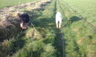 Trojan collie/shepherd x. Suny Labradoodle
